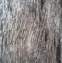 Eucalyptus melliodora (TBC) at Aranda, ACT - 11 Nov 2020 by petaurus
