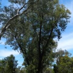 Eucalyptus sideroxylon (TBC) at Aranda, ACT - 11 Nov 2020 by petaurus