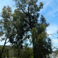 Eucalyptus sideroxylon (TBC) at Aranda, ACT - 10 Nov 2020 by petaurus