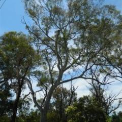 Eucalyptus mannifera (Brittle Gum) at Aranda, ACT - 11 Nov 2020 by petaurus