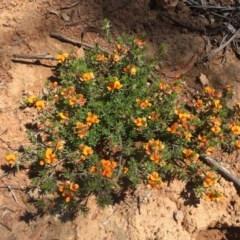 Pultenaea subspicata (Low Bush-pea) at Mount Ainslie - 6 Nov 2020 by WalterEgo