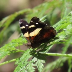 Vanessa itea (Yellow Admiral) at Tidbinbilla Nature Reserve - 9 Nov 2020 by RodDeb