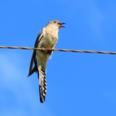 Cacomantis flabelliformis (Fan-tailed Cuckoo) at Tidbinbilla Nature Reserve - 9 Nov 2020 by RodDeb