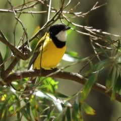 Pachycephala pectoralis (Golden Whistler) at Tidbinbilla Nature Reserve - 9 Nov 2020 by RodDeb