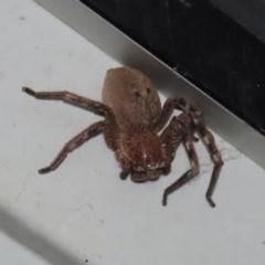 Neosparassus sp. (genus) at Tidbinbilla Nature Reserve - 9 Nov 2020