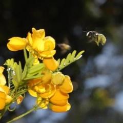 Xylocopa aeratus (Metallic Green Carpenter Bee) at Acton, ACT - 10 Nov 2020 by TimL
