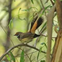 Rhipidura rufifrons (Rufous Fantail) at Tidbinbilla Nature Reserve - 9 Nov 2020 by RodDeb