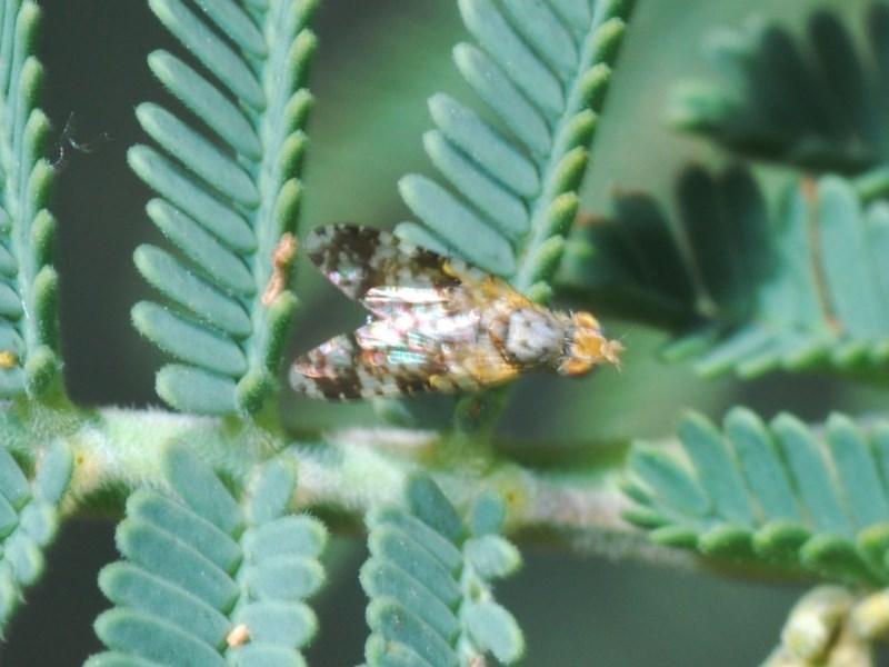 Tephritidae sp. (family) at Goorooyarroo - 7 Nov 2020