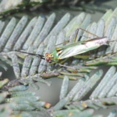Miridae sp. (family) (TBC) at Goorooyarroo - 7 Nov 2020 by Harrisi