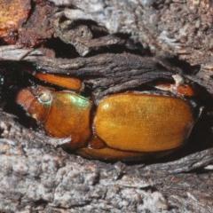 Anoplognathus montanus (Montane Christmas beetle) at Goorooyarroo - 7 Nov 2020 by Harrisi