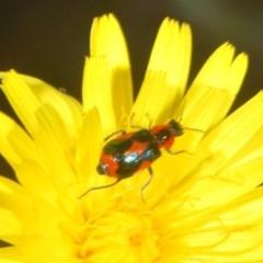 Dicranolaius villosus (Melyrid flower beetle) at Goorooyarroo - 7 Nov 2020 by Harrisi
