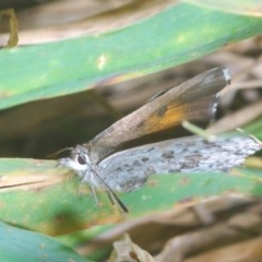 Lucia limbaria (Chequered Copper) at Goorooyarroo - 7 Nov 2020 by Harrisi