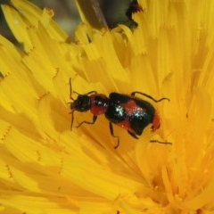 Dicranolaius villosus (Melyrid flower beetle) at Jerrabomberra Grassland - 8 Nov 2020 by michaelb