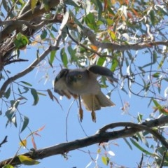 Accipiter fasciatus at ANBG - 11 Nov 2020