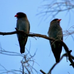 Eurystomus orientalis (Dollarbird) at Federal Golf Course - 11 Nov 2020 by LisaH