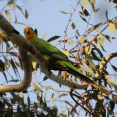 Polytelis swainsonii (Superb Parrot) at Federal Golf Course - 11 Nov 2020 by LisaH