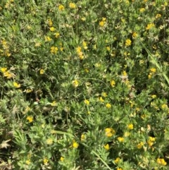 Unidentified Other Shrub (TBC) at Budgong, NSW - 7 Nov 2020 by Ry