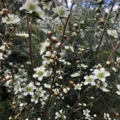 Leptospermum polygalifolium (Tantoon) at Budgong, NSW - 7 Nov 2020 by Ry