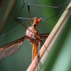 Leptotarsus (Macromastix) costalis (Common Brown Crane Fly) at Dryandra St Woodland - 5 Nov 2020 by ConBoekel