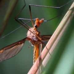 Leptotarsus (Macromastix) costalis (Common Brown Crane Fly) at Dryandra St Woodland - 5 Nov 2020 by ConBoekel