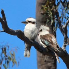 Dacelo novaeguineae (Laughing Kookaburra) at Dryandra St Woodland - 5 Nov 2020 by ConBoekel