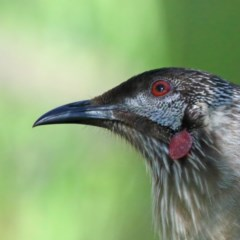 Anthochaera carunculata (Red Wattlebird) at Dryandra St Woodland - 5 Nov 2020 by ConBoekel