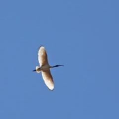 Threskiornis molucca (Australian White Ibis) at Dryandra St Woodland - 5 Nov 2020 by ConBoekel