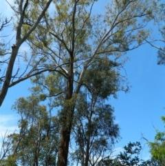 Eucalyptus melliodora (Yellow Box) at Aranda, ACT - 11 Nov 2020 by petaurus