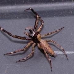 Helpis minitabunda (Jumping spider) at Florey, ACT - 12 Nov 2020 by Kurt