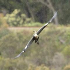 Ardea pacifica (White-necked Heron) at Bundanoon - 11 Nov 2020 by Snowflake