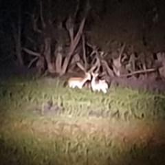 Dama dama (Fallow Deer) at Rob Roy Range - 21 Oct 2020 by ChrisHolder