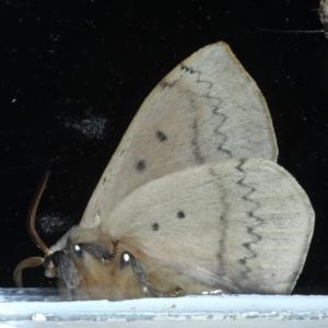 Anthela varia at Ainslie, ACT - 11 Nov 2020
