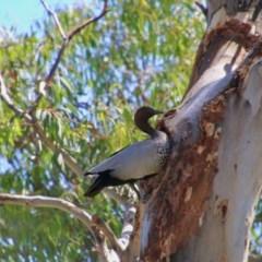 Chenonetta jubata (Australian Wood Duck) at Hughes Grassy Woodland - 9 Nov 2020 by LisaH