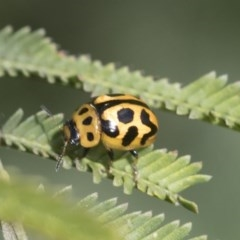Peltoschema oceanica (Oceanica leaf beetle) at Goorooyarroo - 7 Nov 2020 by AlisonMilton