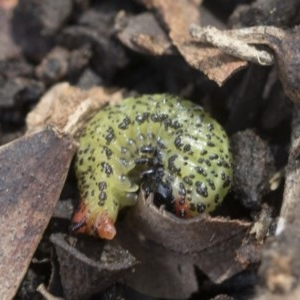 Paropsisterna beata at Goorooyarroo - 7 Nov 2020