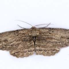 Ectropis excursaria (Common Bark Moth) at Higgins, ACT - 14 Oct 2020 by AlisonMilton