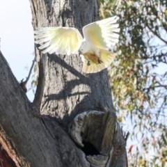Cacatua galerita (Sulphur-crested Cockatoo) at The Pinnacle - 7 Nov 2020 by AlisonMilton