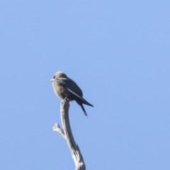 Artamus cyanopterus (Dusky Woodswallow) at The Pinnacle - 7 Nov 2020 by Alison Milton