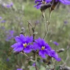 Dampiera purpurea (Purple dampiera) at Wingecarribee Local Government Area - 1 Nov 2020 by GlossyGal