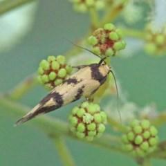 Olbonoma triptycha (Concealer moth) at Dryandra St Woodland - 12 Nov 2020 by ConBoekel