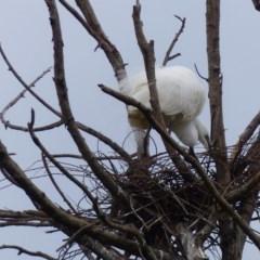 Ardea alba (Great Egret) at Bega, NSW - 11 Nov 2020 by MatthewHiggins