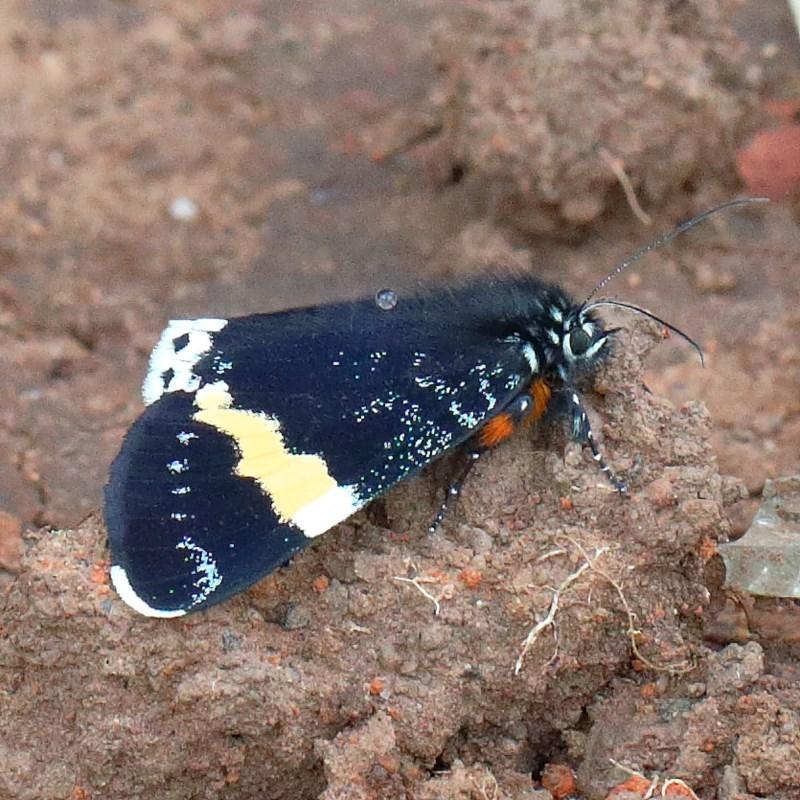 Eutrichopidia latinus at Dryandra St Woodland - 12 Nov 2020