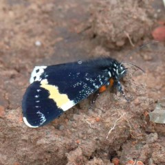 Eutrichopidia latinus (Yellow-banded Day-moth) at Dryandra St Woodland - 12 Nov 2020 by ConBoekel