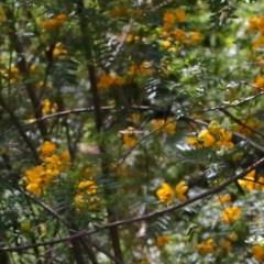 Xylocopa aeratus (Metallic Green Carpenter Bee) at ANBG - 12 Nov 2020 by TimL