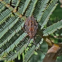 Pentatomidae (family) (Unidentified Shield or Stink bug) at Goorooyarroo - 6 Nov 2020 by galah681