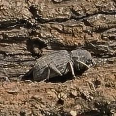 Cubicorhynchus sp. (genus) (Ground weevil) at Goorooyarroo - 6 Nov 2020 by galah681