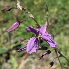 Arthropodium fimbriatum (Chocolate Lily) at Red Hill Nature Reserve - 10 Nov 2020 by JackyF