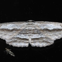 Euphronarcha luxaria (Striated Bark Moth) at Ainslie, ACT - 11 Nov 2020 by jbromilow50