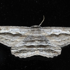 Euphronarcha luxaria at Ainslie, ACT - 11 Nov 2020