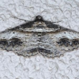Syneora euboliaria at Ainslie, ACT - 11 Nov 2020